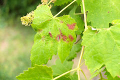 Vine leaf sick. In october Royalty Free Stock Photos