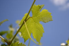 Vine. On the sky Stock Images