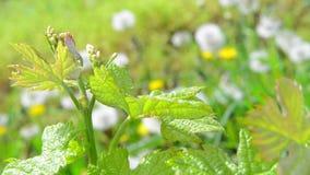 Vine Leaf in spring-Vineyard, Bordeaux Vineyard. Vine Leaf in spring Vineyard south west of France, Bordeaux Vineyard stock footage