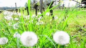 Vine Leaf in spring-Vineyard south west of France. Bordeaux Vine stock video