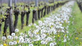 Vine Leaf in spring-Vineyard south west of France. Bordeaux Vine stock video footage