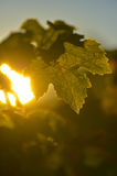 Vine Leaf and sun. Royalty Free Stock Photography