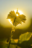 Vine Leaf and sun Royalty Free Stock Images
