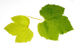 Vine leaf Stock Photography