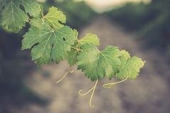 Vine leaf of a vineyard variety Vino de Nieva (Segovia, Spain) date back to the 12th century. White wines of the highest quality g