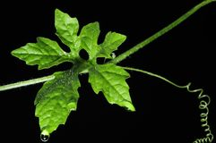 Vine leaf and water drop close-up, background Isolated Royalty Free Stock Photos