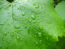Vine leaf with water drops. Stock Photography