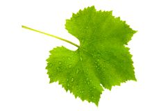 Vine leaf wet. Isolated on white Stock Photography