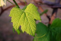 Vine Leaf, Young, Green, Leaf, Vine Stock Photo
