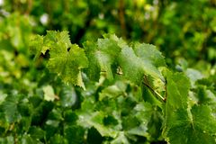 Vine leafes with sun day Royalty Free Stock Image