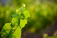 Vine leafs Stock Images