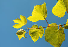 Vine leafs Royalty Free Stock Photography