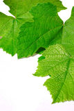Vine leafs Royalty Free Stock Images