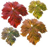 Vine leafs in different colors Royalty Free Stock Images