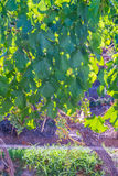 Vine Leafs at Vineyard in Mendoza Royalty Free Stock Photos