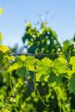 Vine Leafs at Vineyard in Mendoza Stock Image