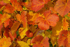 Vine leaves 01. Vine leaves in fall colors stock images