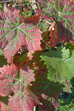 Vine Leaves. A close-up of a vine leaf in its Autumn colours Royalty Free Stock Images