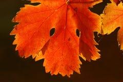 Vine leaves Royalty Free Stock Image