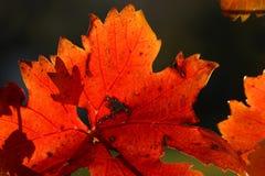 Vine leaves Stock Image