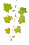 Vine leaves Stock Photos