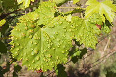 Vine leaves. Sick vine leaf with the green foliage as background Royalty Free Stock Photo