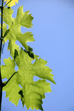 Vine leaves Royalty Free Stock Image