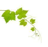 Vine leaves. Vine branch isolated on white background stock image