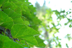 Vine leaves Stock Photo