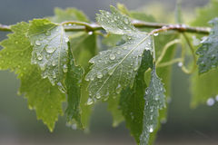 Vine leaves. In the rain stock images