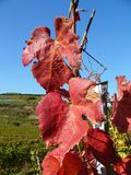 Vine Leaves. Autumn Colours in a Vineyard Royalty Free Stock Image