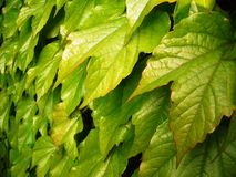 Vine leaves. Leaves of a wild vine plant Royalty Free Stock Photography