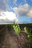 Vine leaves in Aude, France Stock Photo