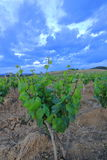 Vine leaves in Aude, France Royalty Free Stock Photography