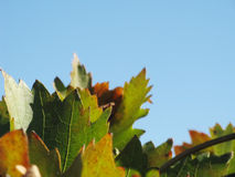 Vine leaves in autumn Royalty Free Stock Photography
