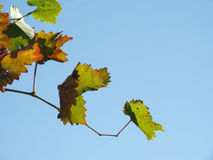 Vine leaves in autumn Royalty Free Stock Photos