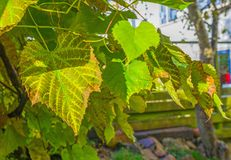 Vine leaves in autumn colors in a garden Stock Photos