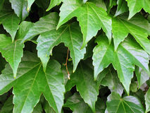 Vine leaves background Stock Image