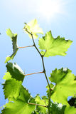 Vine leaves on  blue sky Royalty Free Stock Image