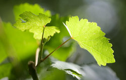 Vine leaves on a blurry background royalty free stock photo
