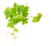 Vine leaves border isolated on white background Royalty Free Stock Photography