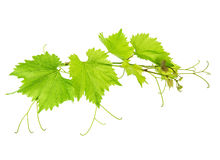 Vine leaves branch isolated on white background Royalty Free Stock Photo