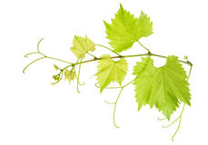 Vine leaves branch isolated on white. Green grape leaf Stock Image