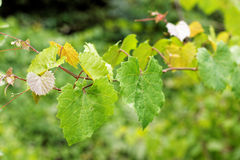 Vine leaves Stock Images
