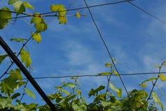 Vine leaves frame Stock Photos