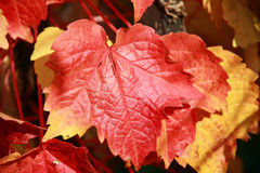Vine Leaves In Full Autumn Colour Stock Images