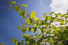 Vine leaves in full sun on blue sky Royalty Free Stock Image