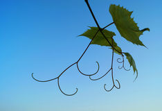Vine leaves. Royalty Free Stock Photography