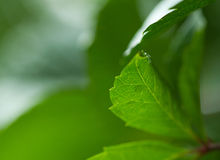 Vine leaves green background Royalty Free Stock Photography