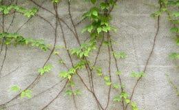 Vine leaves Stock Photos